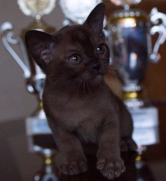 Котенок породы бурма. Красавец ❤