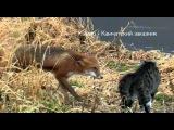 кот и лиса Знакомство. Полная версия) cat and fox. Meeting