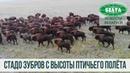 Стадо из 250 зубров пасется на территории охотхозяйства СПК «Озеры»