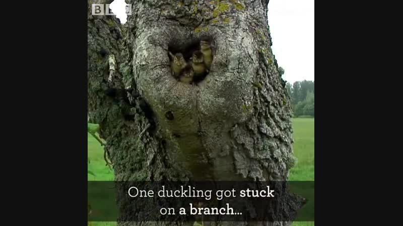 Mandarin ducklings fledge the nest