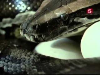 BBC Мир природы В объятиях змеи