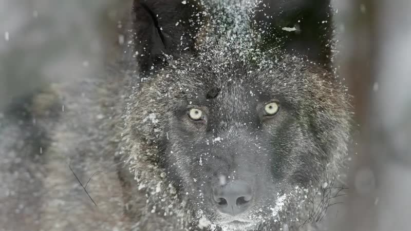 Песня Черный волк и Белая рысь ЛУЧШАЯ ПЕСНЯ РУССКОГО ШАНСОНА