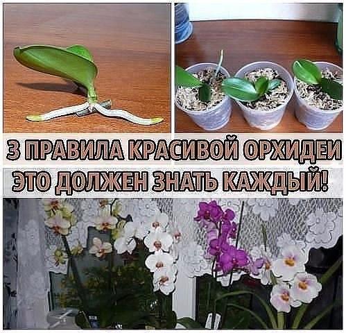 3 ПРАВИЛА КРАСИВОЙ ОРХИДЕИ. ЭТО ДОЛЖЕН ЗНАТЬ КАЖДЫЙ! Сохраните, чтобы не потерять! Не затягивайте с пересадкой Пересаживают орхидеи один раз в два-три года, по окончании цветения или в конце периода покоя. Но часто это приходится делать сразу после покупки. Дело в том, что перед продажей орхидеи пересаживают в более влагоемкий субстрат, чем им требуется. Это позволяет растениям перенести транспортировку, но может вызвать загнивание корней. В этом случае с пересадкой стоит поторопиться. Бояться…