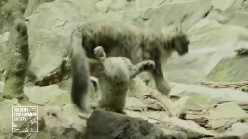 Взрослый барс играючи уворачивается от мелкого