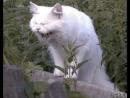 ржущий кот