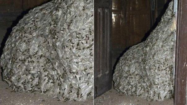 Полиция Испании обнаружила осиное гнездо размером с комнату