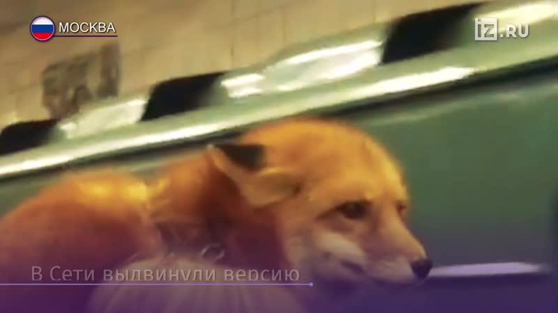 Москвичка прокатилась в метро с лисой