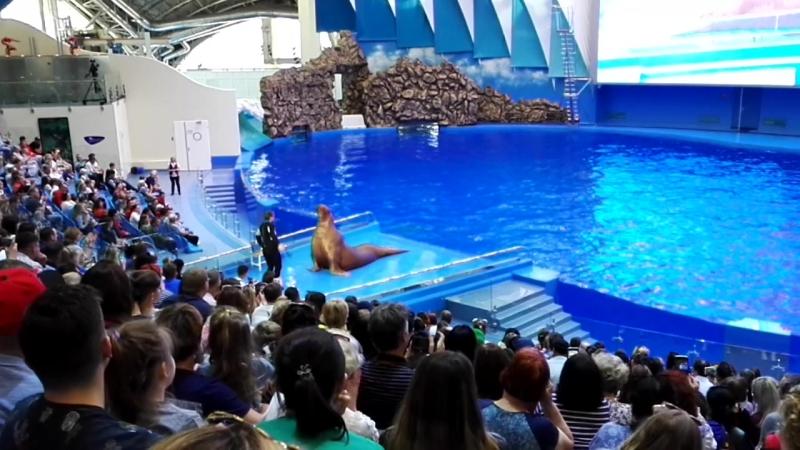 Морской лев. Отжимание от пола