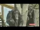 СМЕШНЫЕ и ЗАБАВНЫЕ ОБЕЗЬЯНЫ подборка приколов с обезьянами 1