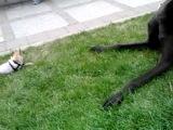 Дуэль на равных: опасный чихуахуа и огромный дог.смешное прикольное собачки котик басик зайка ми доставим неожиданно в санкт-пет