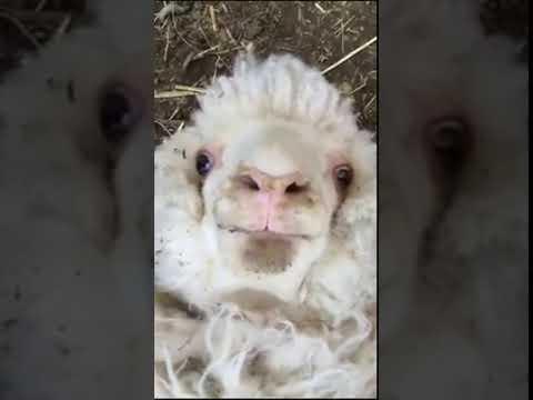 Essa ovelha tem algo importante a dizer