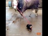 Собакен выгуливает лошадку!