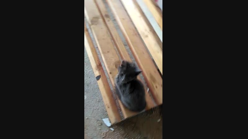 Найден дымчатый домашний котёнок
