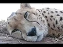 Cute Cheetah Purring and Cuddling - A Cute Big Cat Videos