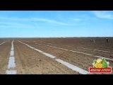 Высаживаем рассаду арбуза в грунт 10 05 2014