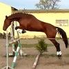 Лошади из Польши!