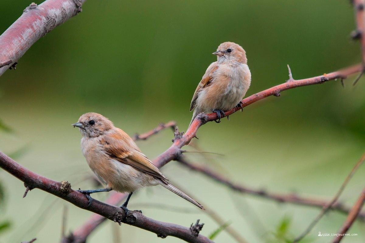 птицы Челябинска, ремез