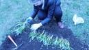 Мускари ! Неприхотливый многолетник ! Как выращивать ? Луковичные 🌱