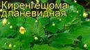 Киренгешома дланевидная. Краткий обзор, описание характеристик kirengeshoma palmata