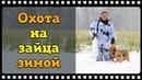 Охота на зайца зимой с русскими гончими или из крайности в крайность