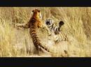 Тигриные схватки