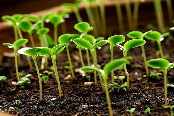 """Семена сажаем в кипяток  """"Как-то меня научили сажать сельдерей..."""