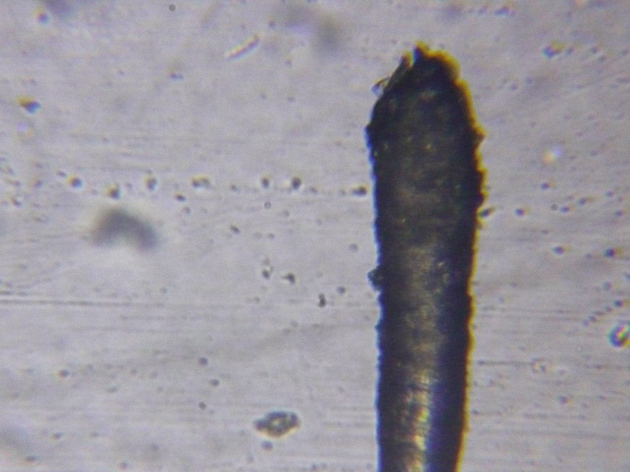 Кончик выпавшего волоса под микроскопом