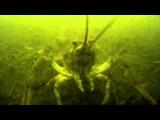 Поймать рака руками. Ловля раков под водой в норах.