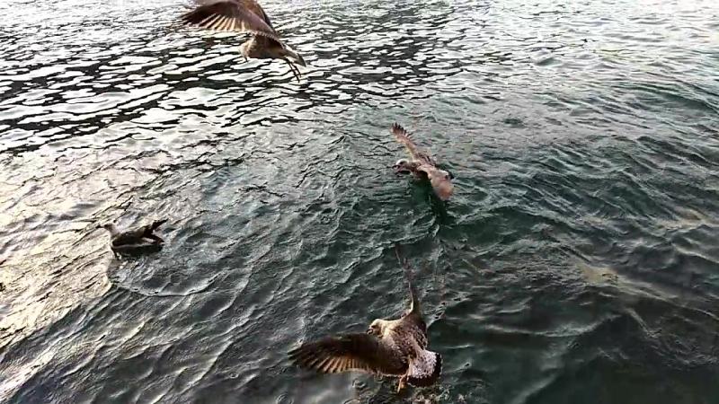 Балаклавские чайки