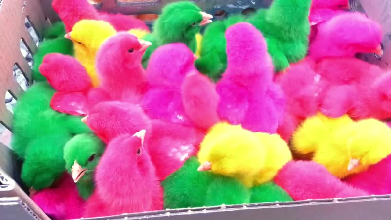 Разноцветные цыплята (colored chiks)_HD.mp4