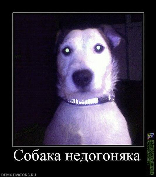 собака-недогоняка