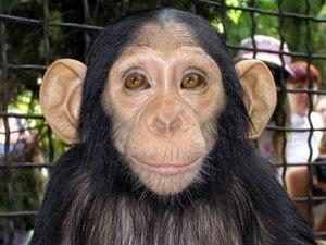 Мавпи розумніші за людину?