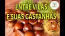 BOSQUE DE CASTANHAS E CULTIVO CONHEÇA ENTRE VILAS 01