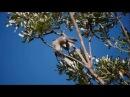 Noisy friarbird Крикливый филемон Philemon corniculatus