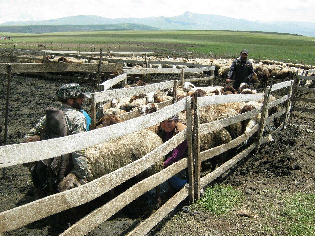 пастухи-езиды в Армении