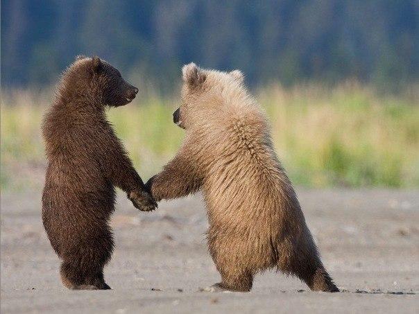 Семимесячные медвежата гризли. Держась за лапы, они чувствуют себя в большей безопасности.