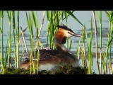 Последнее лето московской чомги (The final summer of the Moscow's Great Crested Grebe, eng subs)