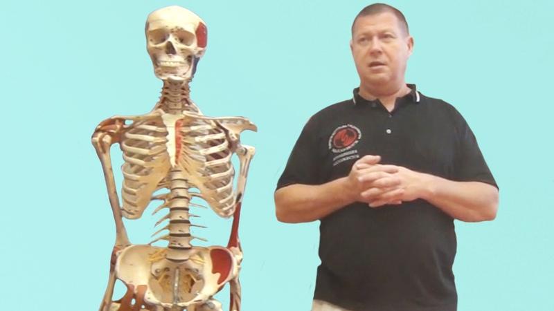 Биомеханический подход в массаже Мышечные цепи и постуральная функция опорно двигательного аппарата
