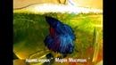 ВЫПАДАЮТ ИЗ ГНЕЗДА ИКРИНКИ У РЫБКИ ПЕТУШКА рыбкапетушокнерест 8/12/18 ПИТОМНИК МАРИ МИСТИК