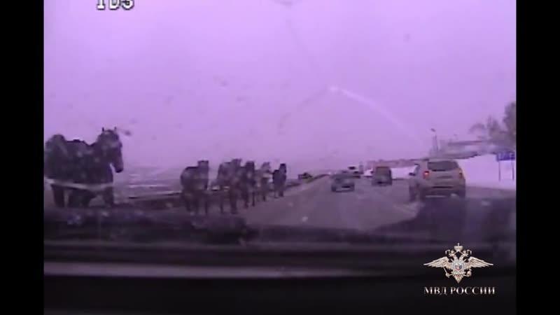 На дорогу под Красноярском вышел табун лошадей