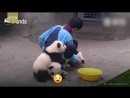 Cute alert! Giant panda cuddles with keeper during shower time ( 1080 X 1920 ).mp4
