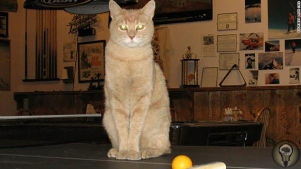 Знаменитый кот-мэр из Аляски умер в возрасте 20 лет.