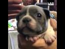 Bulldog puppy hasn't mastered its bark yet