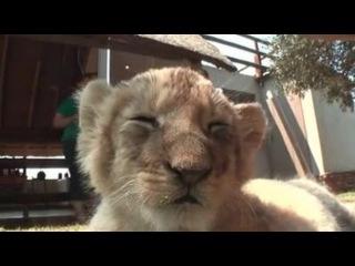 Как засыпает львенок [Coub]