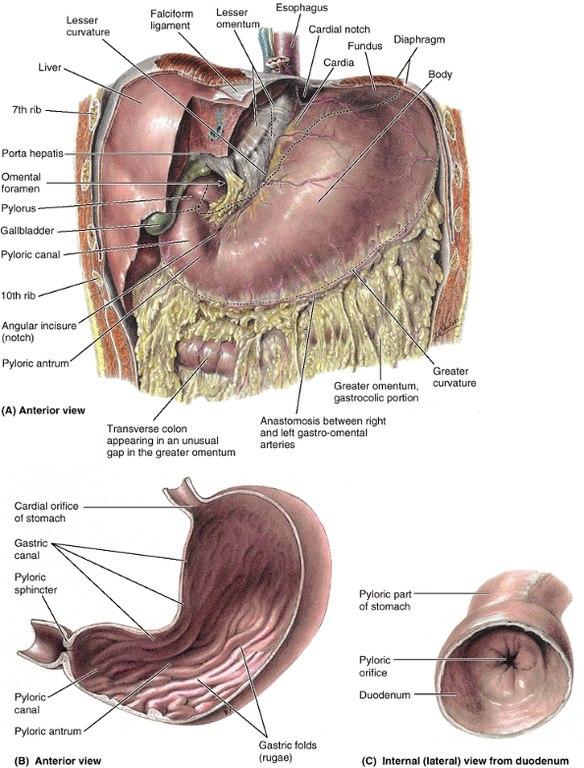 Анатомия желудка и пищевода
