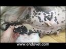 Лапароскопическое лечение гигантской паховой грыжи у собаки