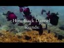 How Black Damselfish sounds   Diving Pattaya