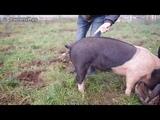 Как выпрямить хвост у свиньи