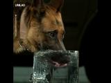 Собака пьёт воду (замедленная съёмка)