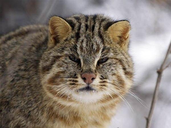 Дальневосточный лесной кот, эротические приколы. Эротические